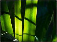 lines on iris leaves