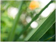 iris leaf dividing